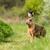 european hare lepus europaeus stock photo © digoarpi