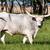 ビッグ · 牛 · フィールド · 食べ · 草 · 花 - ストックフォト © digoarpi