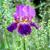 подробность · Iris · цветок · полный · весны · цвести - Сток-фото © digoarpi