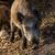 wild boar eat acorns under the oaks stock photo © digoarpi