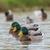 úszik · víz · család · madár · tó · kacsa - stock fotó © digoarpi