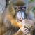 macaco · masculino · retrato · animal · floresta · Camarões - foto stock © digoarpi