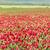 trevo · flor · belo · flores - foto stock © digoarpi