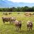 tejgazdaság · tehén · testtartás · fiatal · élvezi · napsütés - stock fotó © digoarpi