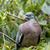 древесины · голубь · лес · природы · области · зеленый - Сток-фото © digoarpi