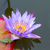 水 · ユリ · クローズアップ · 青 · 色 · 花 - ストックフォト © digoarpi