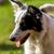Бордер · колли · портрет · белый · студию · животного - Сток-фото © digoarpi