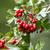 лес · клюква · Буш · зрелый · Ягоды - Сток-фото © digoarpi