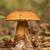 ヤマドリタケ属の食菌 · 秋 · 森林 · 雨 · 値下がり · 食品 - ストックフォト © digoarpi