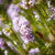 light pink heath plant blossoming close up stock photo © dinozzaver