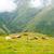 mucca · riposo · selvatico · paese · guardando · fotocamera - foto d'archivio © dinozzaver