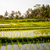 rice fields with young rice bali indonesia stock photo © dinozzaver