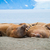 Walruses lying on the shore in Svalbard, Norway stock photo © dinozzaver