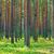 çam · ağacı · orman · zemin · kapalı · kuru - stok fotoğraf © discovod