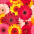 seamless pattern from vibrant gerbera flowers stock photo © discovod