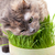 A pet cat eating fresh grass stock photo © Discovod