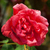 garden red rose covered with water droplets stock photo © discovod