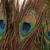 подробность · павлин · Перу · глаза · белый · природы - Сток-фото © discovod