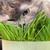 animal · de · estimação · gato · alimentação · fresco · grama · branco - foto stock © discovod