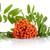 orange mountain ash with leaves isolated on white background stock photo © dla4