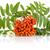 orange rowanberry with flower isolated on white background stock photo © dla4