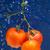 Fresh tomato stock photo © dmitroza