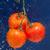 friss · paradicsom · piros · cseppek · víz · természet - stock fotó © dmitroza