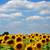 girasoli · verde · campo · nubi · cielo · blu · primavera - foto d'archivio © dmitroza