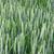 緑 · 小麦 · 画像 · フィールド · 小さな · 春 - ストックフォト © dmitroza