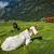alpesi · tájkép · tehenek · Franciaország · tavasz · égbolt - stock fotó © dmitry_rukhlenko