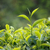 groene · thee · kiem · vers · bladeren · thee · natuur - stockfoto © dmitry_rukhlenko