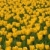 domaine · rouge · tulipes · fleur · fleurs · nature - photo stock © dmitry_rukhlenko