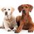 golden · retriever · fehér · boldog · kutya · stúdió · szeretet - stock fotó © DNF-Style