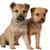 dois · misto · cão · marrom · branco · estúdio - foto stock © dnsphotography