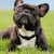 francés · bulldog · hierba · hierba · verde - foto stock © dnsphotography