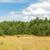 林間の空き地 · スプルース · 木材 · ツリー · 草 · 自然 - ストックフォト © dolgachov