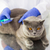 britânico · gato · veterinário · clínica · medicina - foto stock © dolgachov