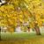 autumn chestnut tree in city park stock photo © dolgachov