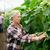velha · pepinos · para · cima · fazenda · estufa - foto stock © dolgachov