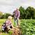 jeans · batatas · fazenda · jardim · jardinagem - foto stock © dolgachov