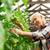 kadın · hasat · domates · bahçe · bahçıvanlık · eller - stok fotoğraf © dolgachov