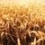 области · зерна · подробный · мнение · небе · продовольствие - Сток-фото © dolgachov