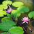 rosa · flores · água · lírios · lagoa · flor - foto stock © dolgachov