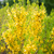 close up of forsythia bush with yellow flowers stock photo © dolgachov