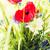 красивой · Полевые · цветы · садоводства · ботаника · лет - Сток-фото © dolgachov