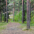summer pine forest and path stock photo © dolgachov