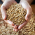 male farmers hands holding malt or cereal grains stock photo © dolgachov