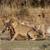 büszkeség · vad · etetés · zsákmány · oroszlán · állat - stock fotó © Donvanstaden