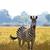 vad · zebra · afrikai · árvíz · fű · park - stock fotó © Donvanstaden