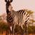 Zebra stock photo © Donvanstaden